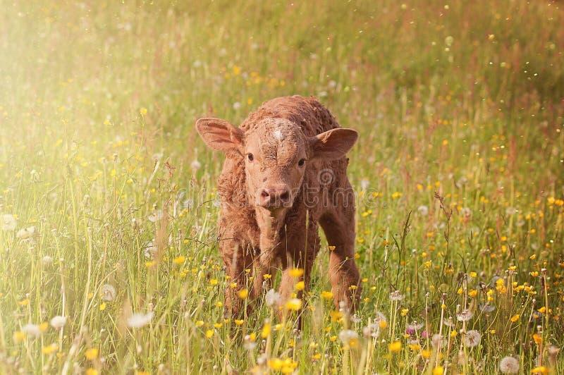 Брайн Cub на поле зеленой травы стоковая фотография rf