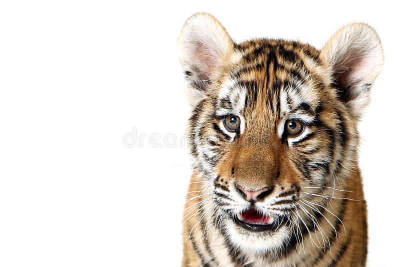 Download The Cub stock photo. Image of mammal, animals, siberian - 9602248