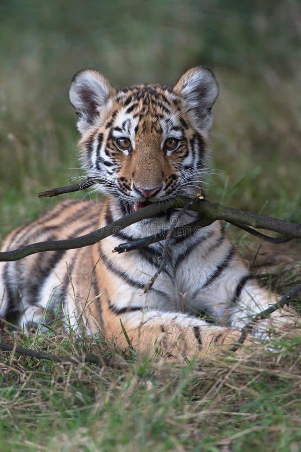 cub altaica σιβηρική τίγρη Τίγρης panthera στοκ εικόνα με δικαίωμα ελεύθερης χρήσης