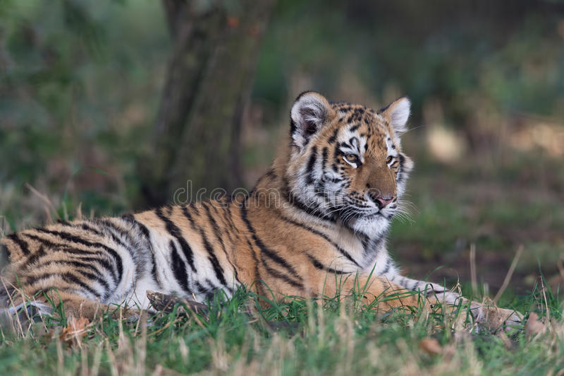 cub altaica σιβηρική τίγρη Τίγρης panthera στοκ φωτογραφίες