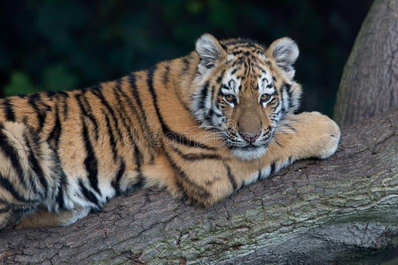 cub altaica σιβηρική τίγρη Τίγρης panthera στοκ φωτογραφία με δικαίωμα ελεύθερης χρήσης