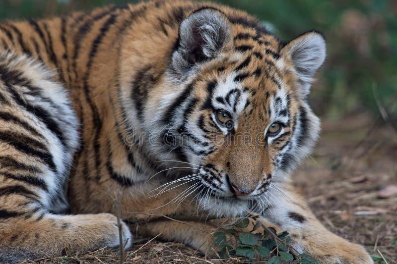 cub altaica σιβηρική τίγρη Τίγρης panthera στοκ φωτογραφία