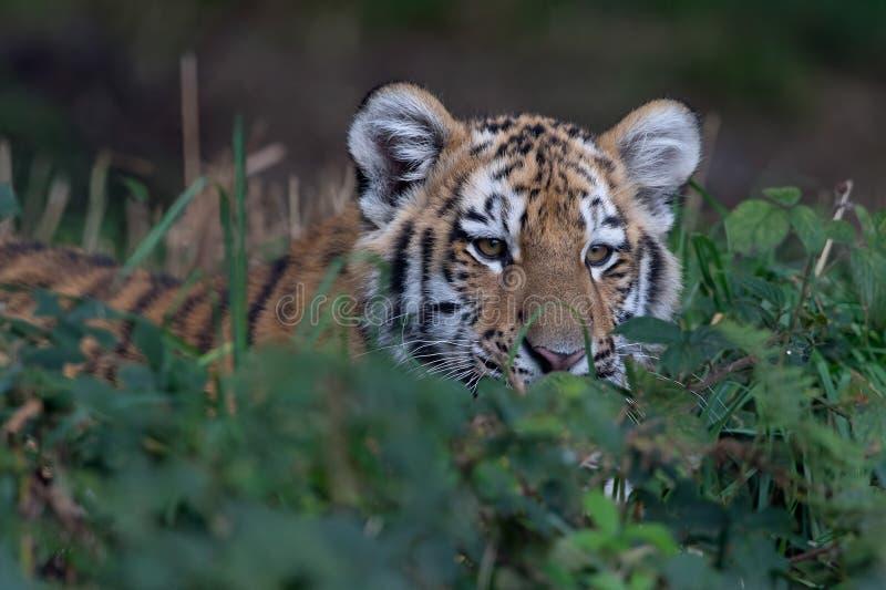 cub altaica σιβηρική τίγρη Τίγρης panthera στοκ εικόνες