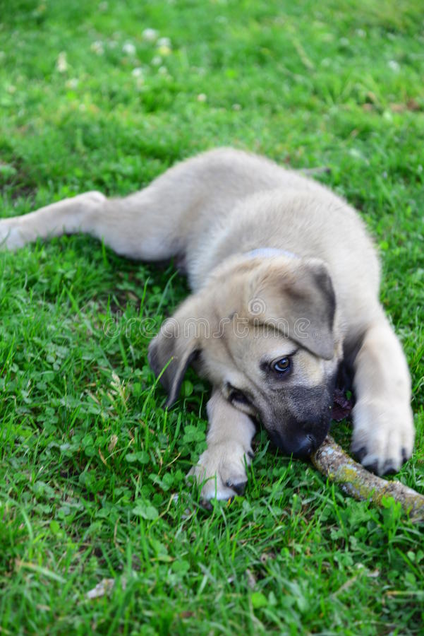 A cub of Anatolian Shepherd Dog-Kangal. A cub of Anatolian Shepherd Dog Playing with a stick on the green grass royalty free stock image