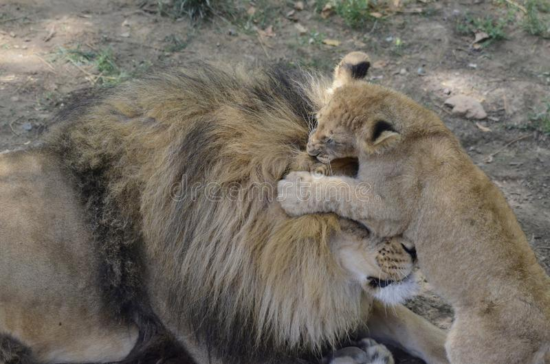 Cub Bites Father Royalty Free Stock Image