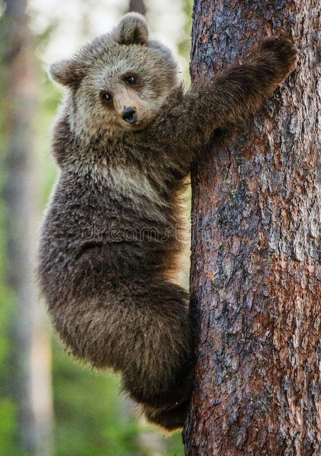 Image result for cub climb