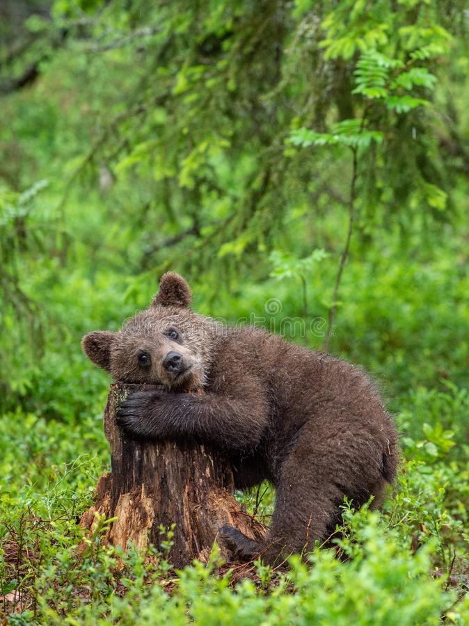 Cub of Brown Bear in the summer forest. Natural habitat. Scientific name: Ursus arctos.  royalty free stock photo