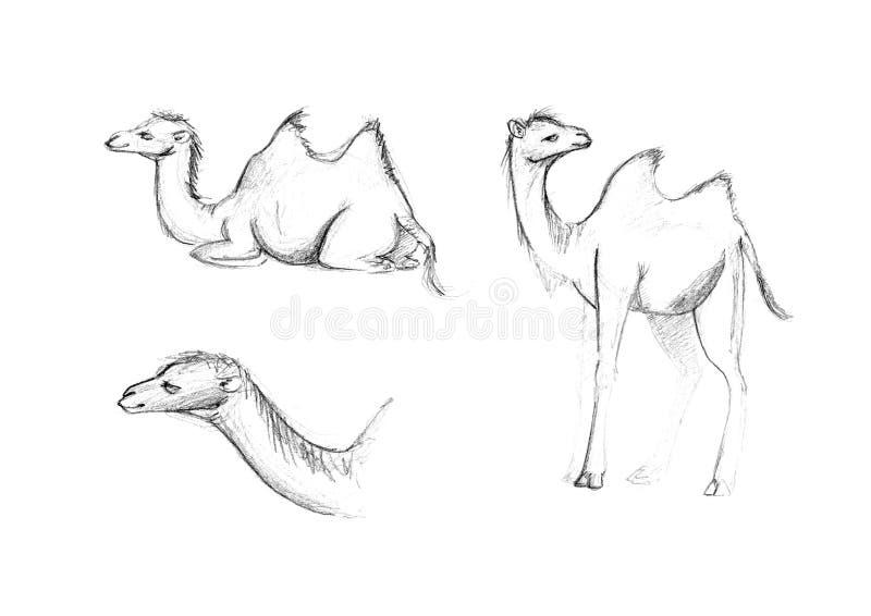 Cub de un camello two-humped en un fondo blanco Dibujo del ` s de los niños stock de ilustración
