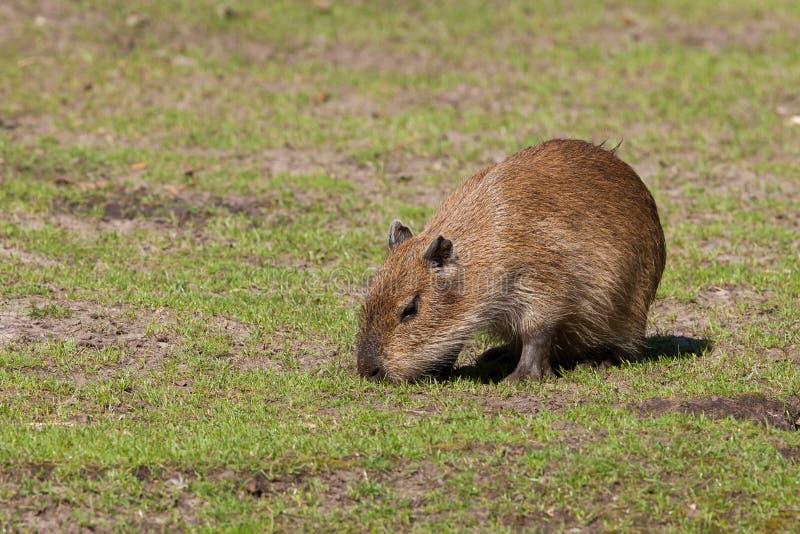 Cub del Capybara fotografia stock libera da diritti