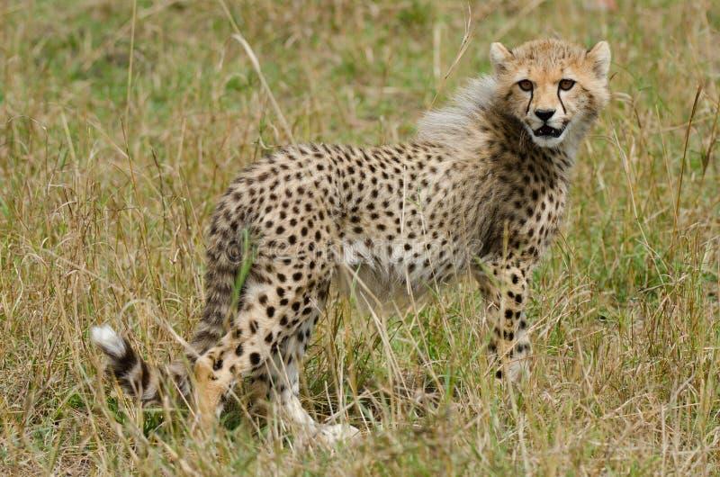 Cub del ghepardo immagine stock