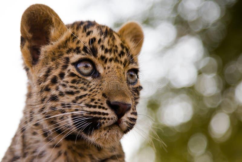 Cub del leopardo fotografia stock