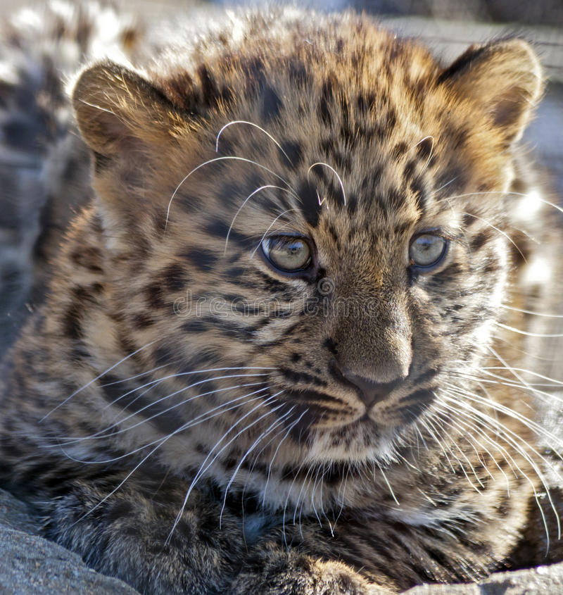 Cub del leopardo del Amur fotografia stock