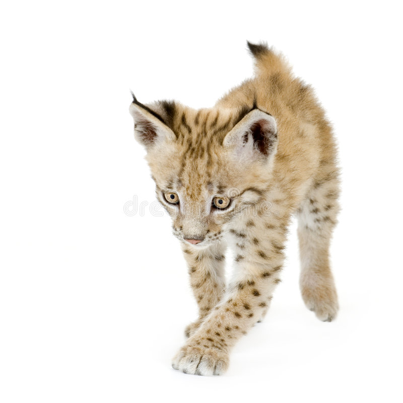 Cub Del Lince (2 Mounths) Immagine Stock