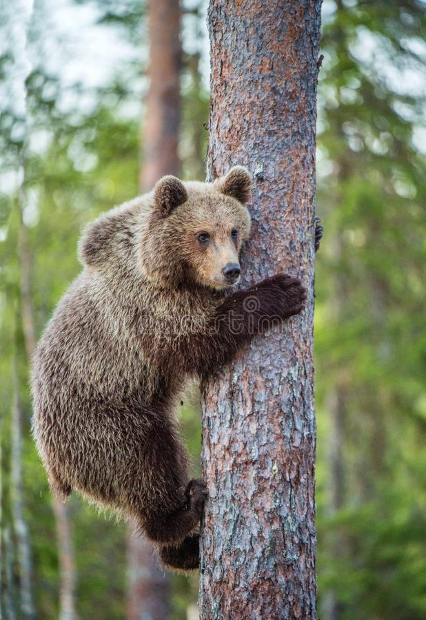 Cub del oso de Brown sube en el árbol fotos de archivo