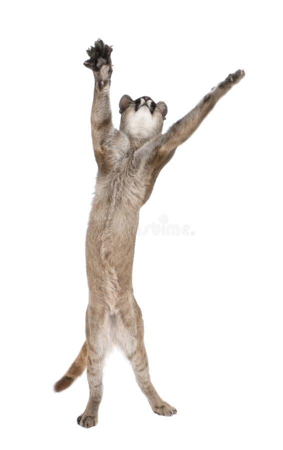 Cub del puma davanti ad una priorità bassa bianca fotografie stock libere da diritti