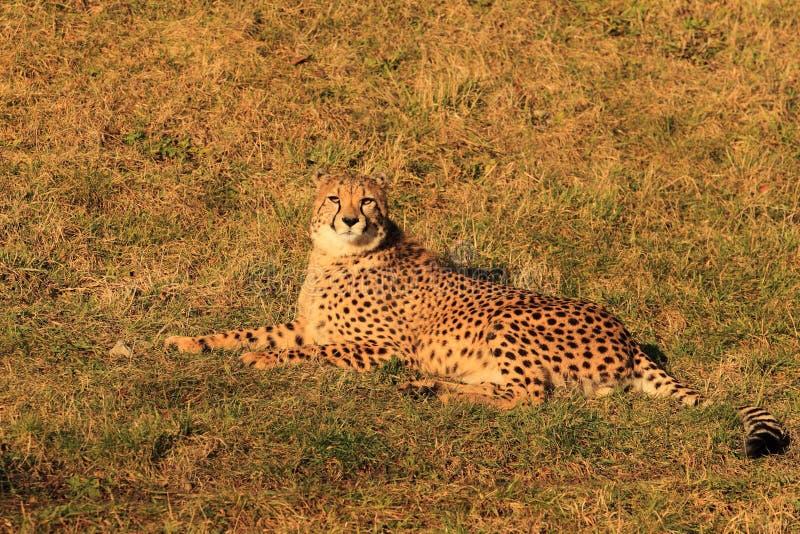 Cub di menzogne del ghepardo fotografia stock libera da diritti