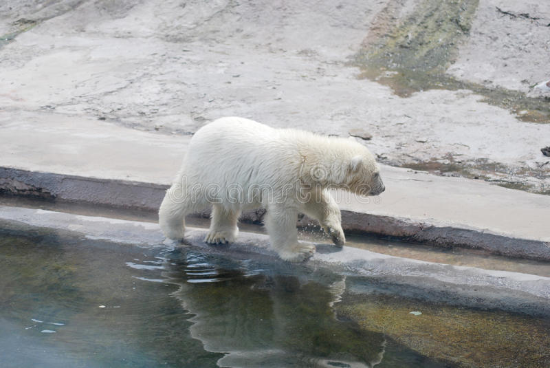 Cub di orso bianco immagine stock libera da diritti