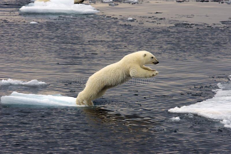 Cub di salto dell'orso polare fotografia stock libera da diritti