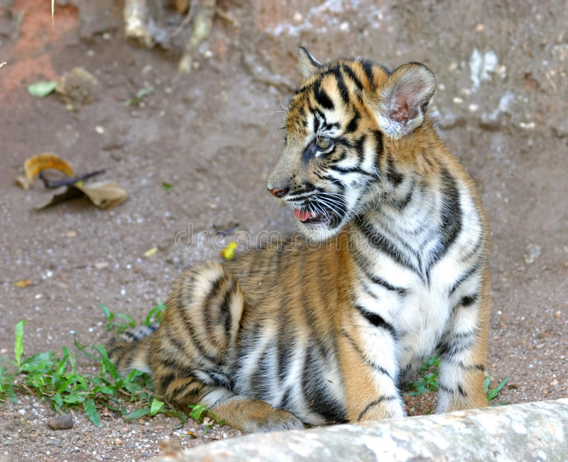 Cub di tigre immagine stock libera da diritti