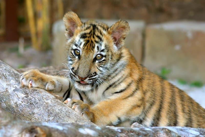 Cub di tigre fotografie stock