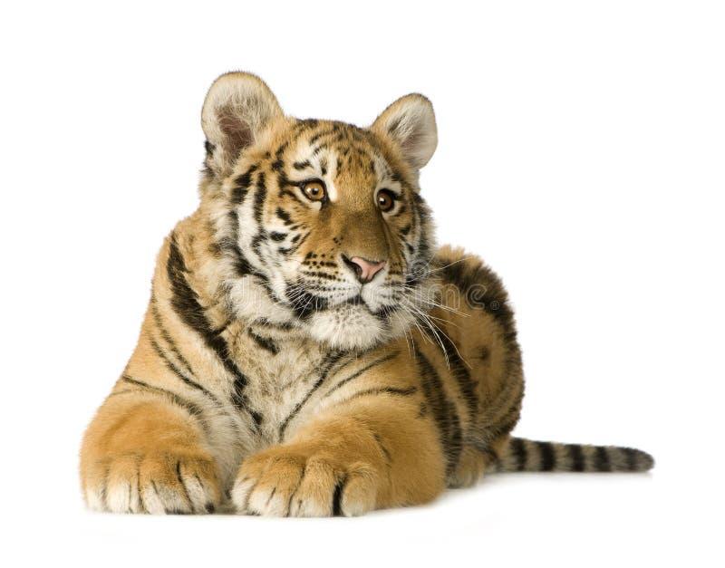 Cub di tigre (5 mesi) fotografie stock