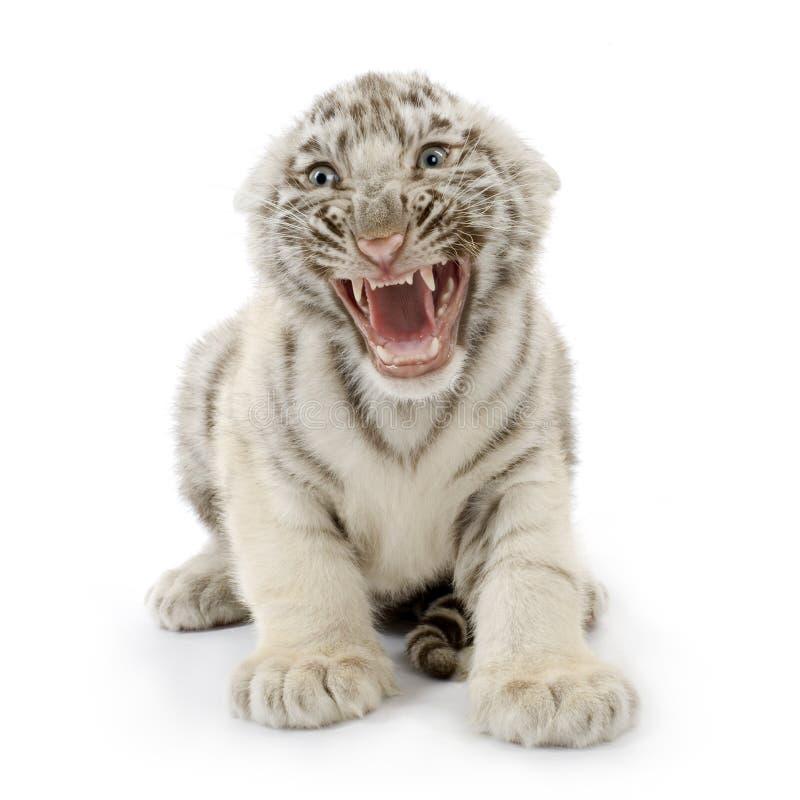 Cub di tigre bianco (3 mesi) fotografia stock