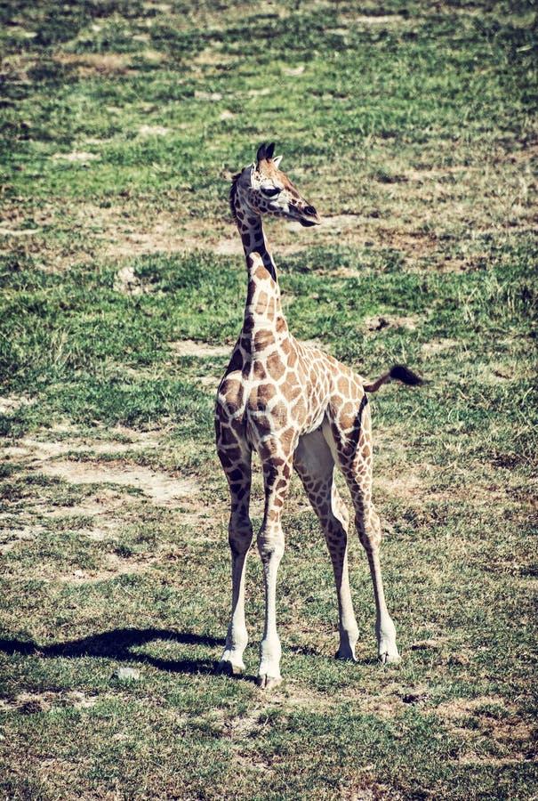 Cub do girafa de Rothschild, filtro azul imagem de stock royalty free