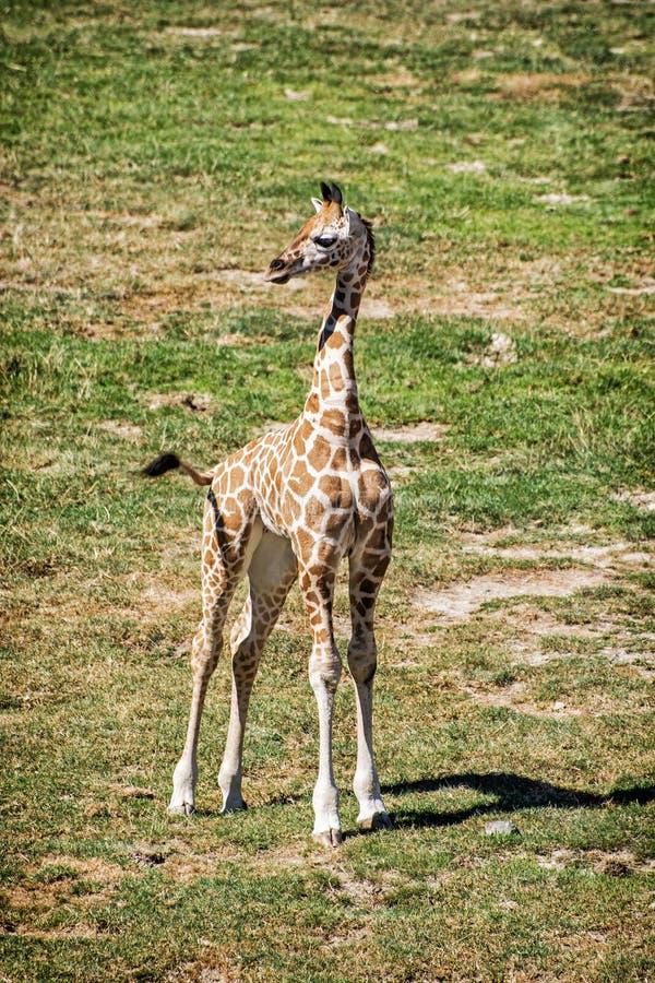 Cub do girafa do ` s de Rothschild imagem de stock