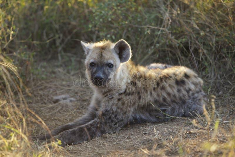 Cub, Hyaena imagenes de archivo