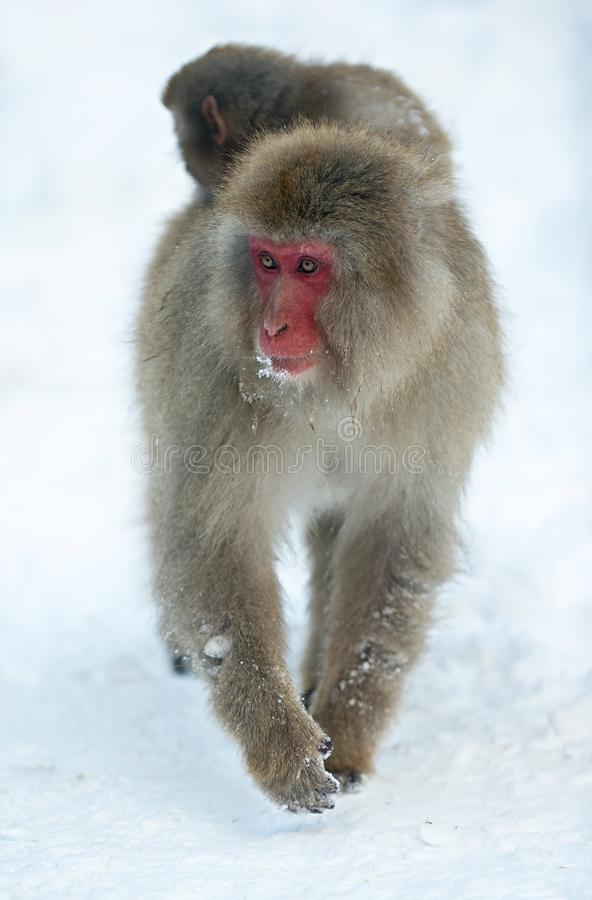 Cub on Japanese macaque`s back. The Japanese macaque Scientific name: Macaca fuscata, also known as the snow monkey. Natural. Habitat, winter season royalty free stock photo