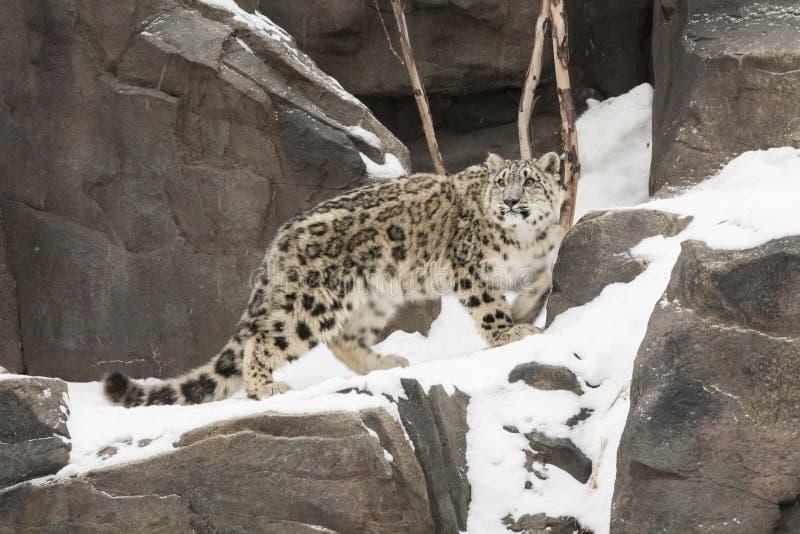 Cub Leopar χιονιού που περπατά στη χιονισμένη δύσκολη προεξοχή στοκ εικόνες με δικαίωμα ελεύθερης χρήσης