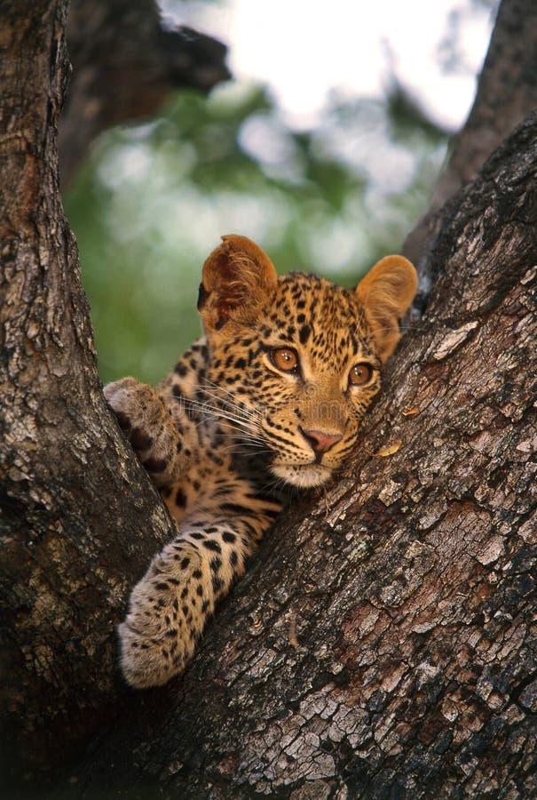 cub leopard στοκ φωτογραφίες