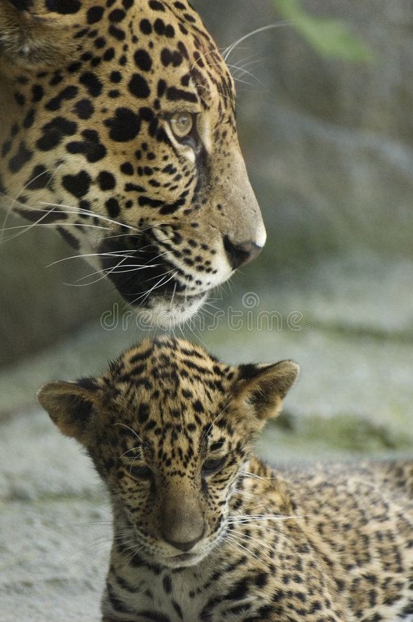 Cub and mother. A jaguar cub sits under it's mother, who is looking out for danger