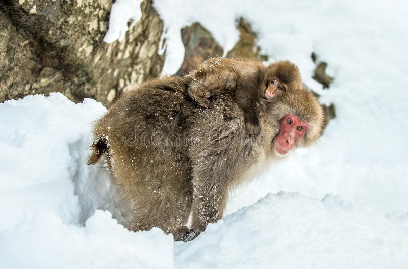 Cub on mother macaque`s back. The Japanese macaque stock image