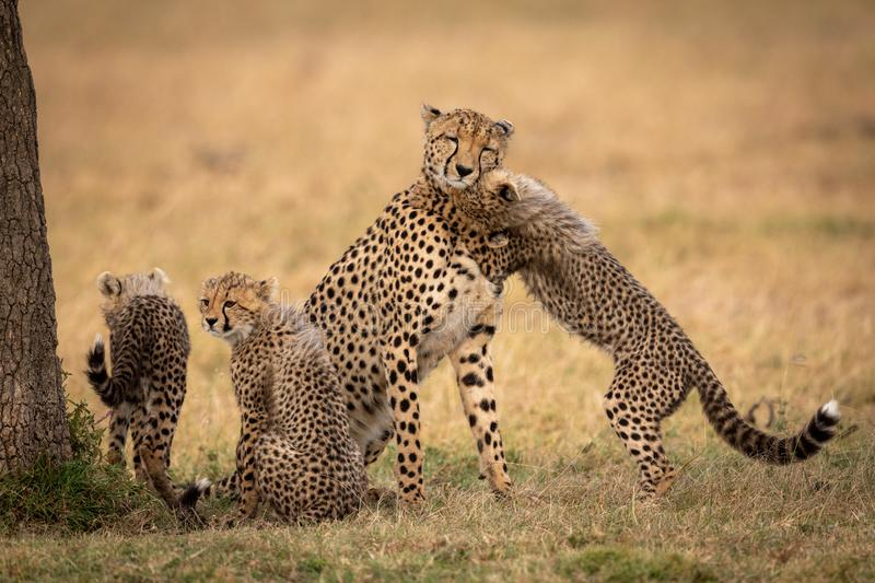 Cub nuzzles cheetah on grass beside siblings stock images