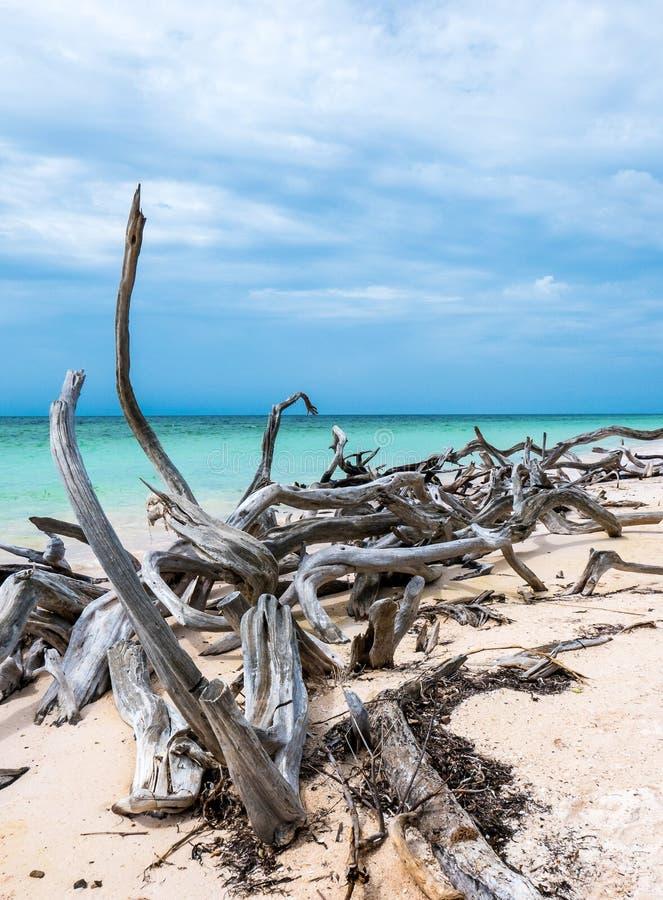 Cuba, Cayo Jutias I pezzi di legno, tinti dal mare, stanno ponendo sopra la spiaggia sabbiosa bianca fotografia stock