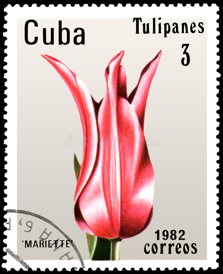 CUBA - CIRCA 1982: postage stamp printed in Cuba shows a pink tulip Mariette royalty free stock photography