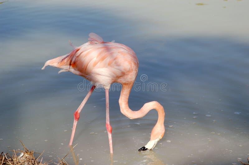 Cuba flamingo royalty free stock images