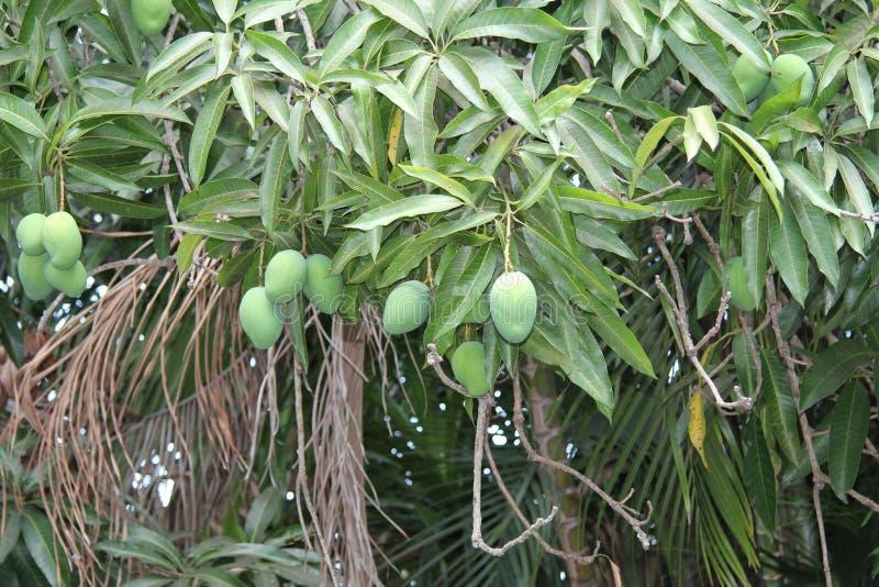 Cuba, Habana, de lente, kan De Mangoboom, het rijpen stock afbeeldingen