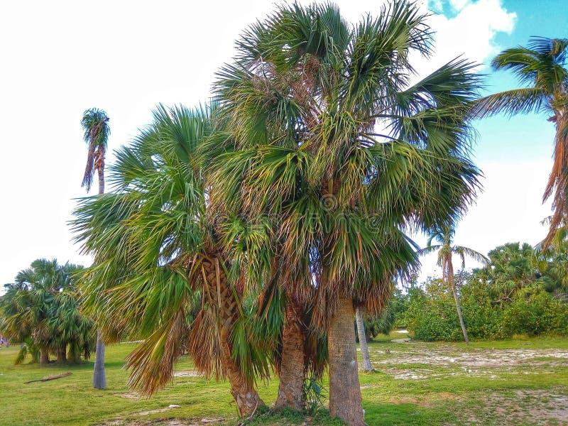 Cubaanse palm stock foto's