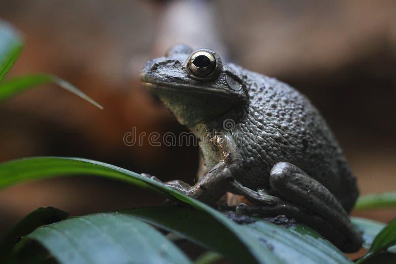 Cubaanse treefrog royalty-vrije stock fotografie
