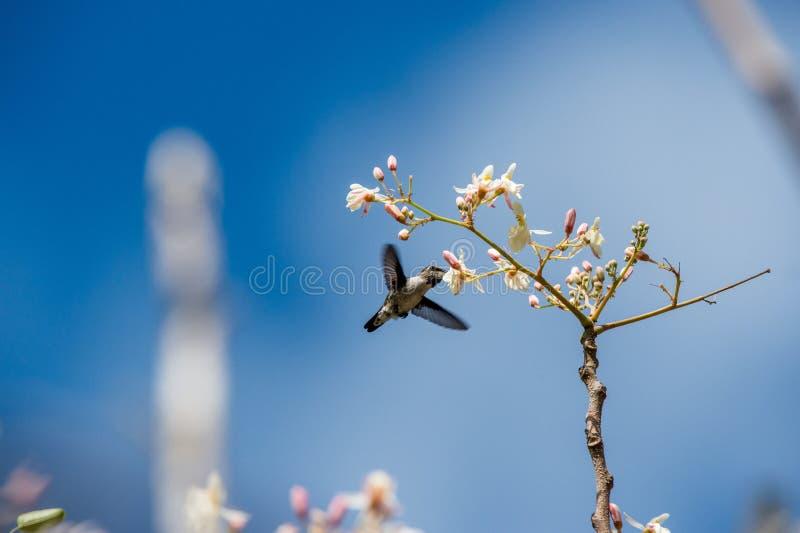 Cuban Bee Hummingbird (Mellisuga helenae) single adult male stock images