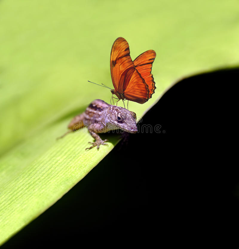 Cuban Brown Anole Lizard with Julia Butterfly stock photography