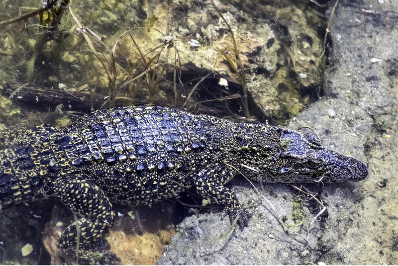 The Cuban crocodile Crocodylus Rhombifer is a small species of crocodile endemic to Cuba - Peninsula de Zapata National Park, Cu. The Cuban crocodile Crocodylus royalty free stock image
