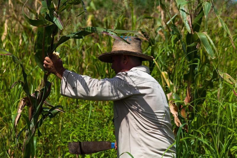 Cuban farmer cut sugarcane on the field royalty free stock photography