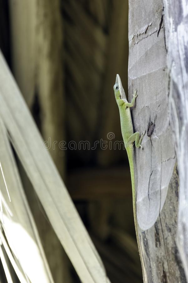 Cuban female lizard Allison`s Anole Anolis allisoni, also known as the blue-headed anole - Varadero, Cuba royalty free stock images