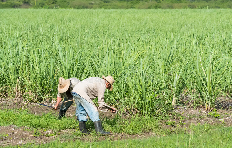 Download Cuban Field Farmer On The Sugarcane During Harvest In Santa Clara Cuba