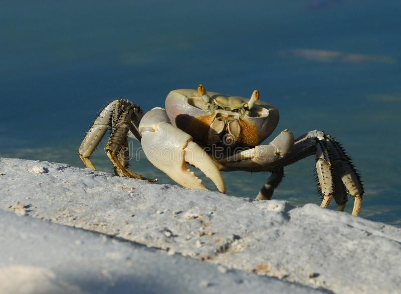 Cuban Ghost Crab
