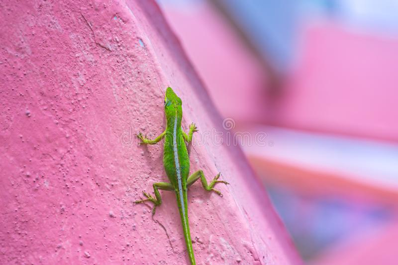 Cuban green anole Anolis porcatus on pink wall stock photography