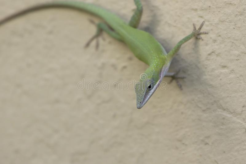 Cuban green anole that sits in the shade on the wall of the building on a bright sunny day royalty free stock image